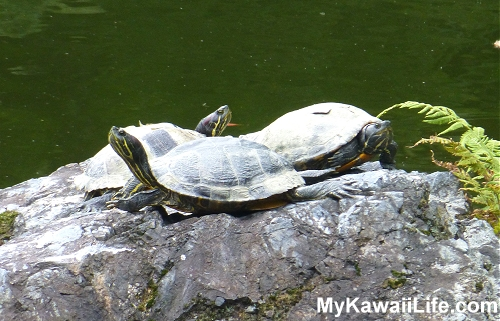 Daigoji Temple Turtles